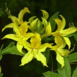 Yellow Azalea, 2011