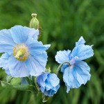 Blue Poppy, 2011